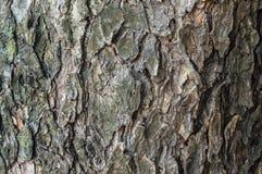 Textura da árvore grande Fotos de Stock Royalty Free