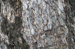 Textura da árvore grande Imagem de Stock Royalty Free