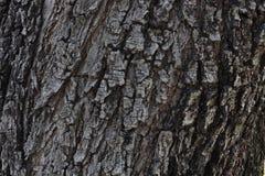 Textura da casca da árvore da terra de Tailândia, fundo da textura da madeira da casca fotos de stock