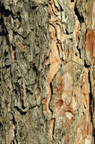 Textura da casca da árvore de pinho Fotografia de Stock Royalty Free