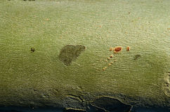 Textura da casca da árvore platan do sicômoro Fotografia de Stock Royalty Free