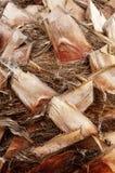 Textura da casca da palma Fotos de Stock