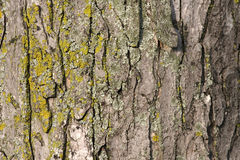 Textura da casca de árvore Foto de Stock