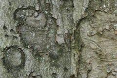 Textura da casca de árvore Imagens de Stock Royalty Free