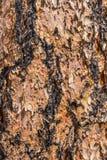 Textura da casca de árvore fotos de stock royalty free