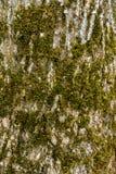 A textura da casca de árvore da cinza coberto de vegetação com o fim do musgo acima imagem de stock