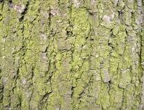Textura da casca de árvore com musgo verde Fotos de Stock