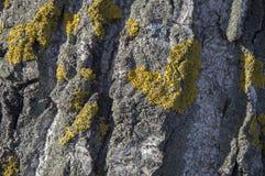 A textura da casca de árvore com símbolo verde do musgo do coração Imagem de Stock Royalty Free