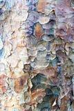 Textura da casca de árvore do plano de Londres foto de stock royalty free