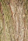Textura da casca de árvore do salgueiro Fotos de Stock Royalty Free