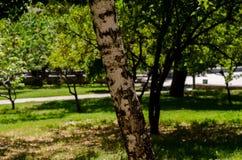 Textura da casca de árvore do vidoeiro Foto de Stock Royalty Free