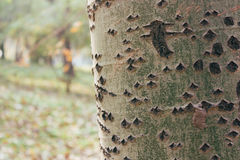 A textura da casca de árvore do vidoeiro fotografia de stock