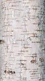 Textura da casca de árvore do vidoeiro imagens de stock