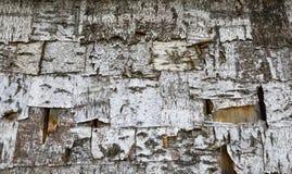 Textura da casca de árvore do vidoeiro fotografia de stock royalty free