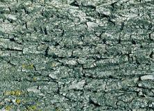 Textura da casca de árvore no tom ciano imagem de stock