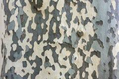 Textura da casca de árvore plana do Platanus Fotografia de Stock