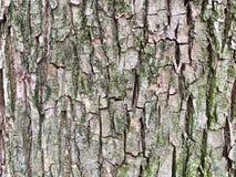 Textura da casca de árvore, um musgo verde pequeno fotografia de stock