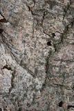 Textura da casca de Aspen como o fundo abstrato Imagens de Stock Royalty Free