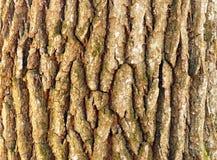 Textura da casca de carvalho fotografia de stock royalty free