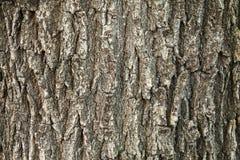 Textura da casca de carvalho Imagem de Stock
