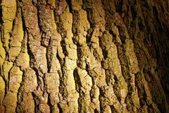 Textura da casca de carvalho Imagens de Stock