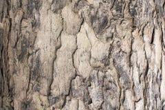 Textura da casca de MahoganyTree Fotos de Stock Royalty Free