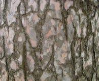 Textura da casca de pinheiro Fotografia de Stock Royalty Free