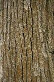 Textura da casca de árvore Foto de Stock Royalty Free