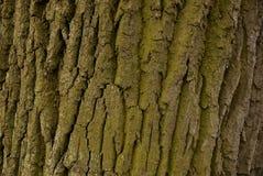 Textura da casca de um grande carvalho Fotografia de Stock