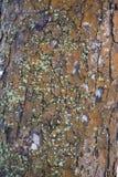 A textura da casca de uma árvore velha Fotos de Stock Royalty Free