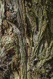 Textura da casca de uma árvore velha Textura da casca de uma árvore velha imagens de stock