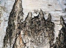 Textura da casca de vidoeiro Fotos de Stock Royalty Free