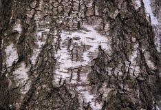 Textura da casca de vidoeiro Imagens de Stock