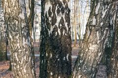 Textura da casca de vidoeiro Imagem de Stock Royalty Free