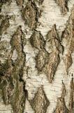 Textura da casca de vidoeiro Imagem de Stock