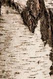 Textura da casca de vidoeiro Foto de Stock Royalty Free