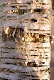 Textura da casca de vidoeiro Fotografia de Stock