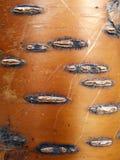 Textura da casca de vidoeiro vermelho Imagens de Stock