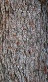 Textura da casca do abeto Imagem de Stock Royalty Free