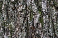 Textura da casca do carvalho com musgo fotos de stock royalty free