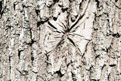 A textura da casca do carvalho Fundos da textura para o projeto de gr?ficos do papel de parede fotografia de stock royalty free