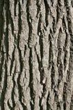 Textura da casca do carvalho verticalmente. Foto de Stock Royalty Free