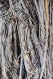 Textura da casca do fundo da árvore de tamarindo Foto de Stock Royalty Free