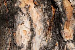 Textura da casca do larício Imagem de Stock Royalty Free