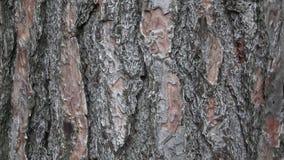 Textura da casca do pinho Árvore ou pinho no fundo da floresta da casca de árvore vídeos de arquivo
