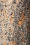 Textura da casca do pinho Foto de Stock