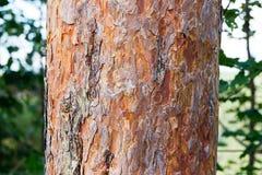 Textura da casca do pinho Fotografia de Stock Royalty Free