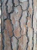 Textura da casca do pinho Fotos de Stock