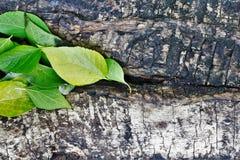 A textura da casca e da madeira Fotografia de Stock