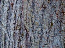 Textura da casca da limeira velha fotografia de stock royalty free
